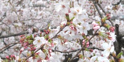 100403sumida-sakura.jpg